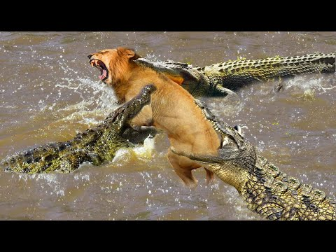 What will happen if newborn lion across river meets the crocodile - mother lion fight crocodile