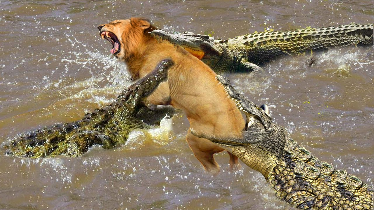 Download What will happen if newborn lion across river meets the crocodile - mother lion fight crocodile