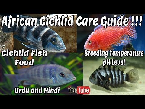 African cichlid care Guide | Tankmates | Breeding Temperature !!! Urdu and Hindi