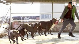 The AMERICAN BULLY PITBULL FAMILY KINGDOM OF TURKEY !!