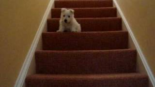 Eddie The Westie Puppy Makes First Attempt At The Stairs