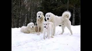 Akbash dog  M.R.K PET'S