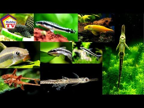 The Best Algae Eating Fish For Planted Aquarium!