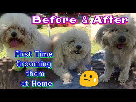 Grooming my Bichon Frise at home for the first time | Quarantine day 30