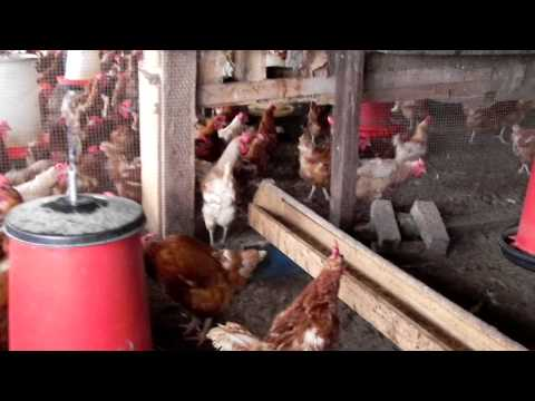 Chicken Coups