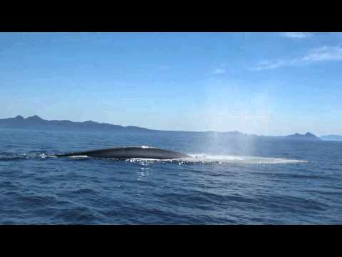 Blue Whale blowing 100 meter from the boat - Baja California - Thore Noernberg Whale Watching