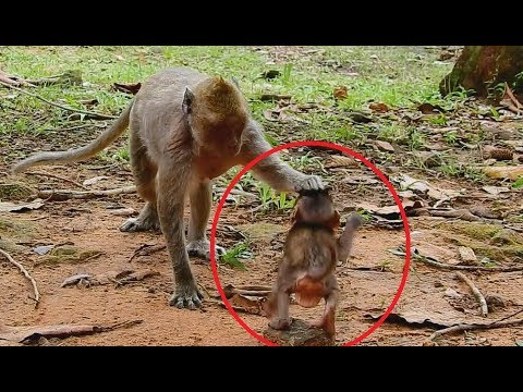 Poor baby monkey Brutus Jr very small mom weaning - Baby B Jr hurt when dana do this.