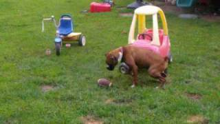 Pa Stray Save - Sallie 2 - 3 Yr Old Boxer - Adopted!
