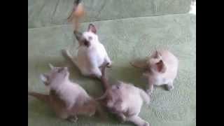 Тонкинские котята