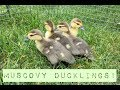 Muscovy Ducklings! Caring For Our New Ducklings ~ 10 Days Old