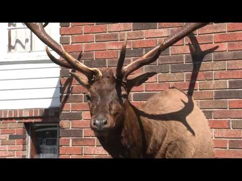 Kentucky Has A New State Record Bull Elk