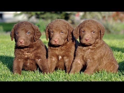 60 Seconds Of Cute Chesapeake Bay Retriever Puppies!