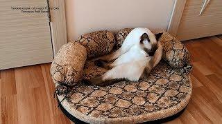 Как тайский котик тщательно умывается по утрам после сна! Тайские кошки - это чудо! Funny Cats