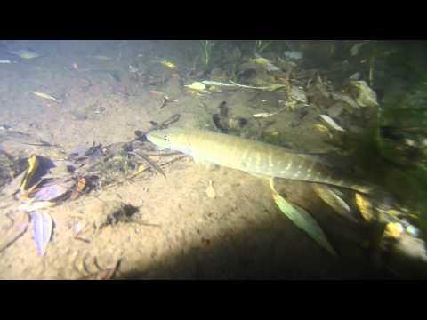 Поведение щуки под водой -
