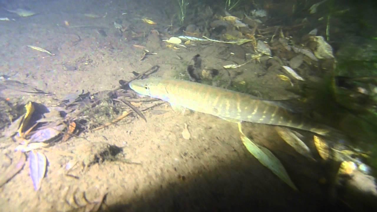 Щука под водой ночью