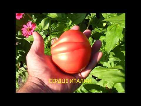 Сорта помидоров у моей подруги Светланы   НОВИЧОК, РОЗОВЫЙ ГИГАНТ, ЖЕЛТЫЙ САХАРНЫЙ, ЖЕЛТЫЙ ТРЮФЕЛЬ,