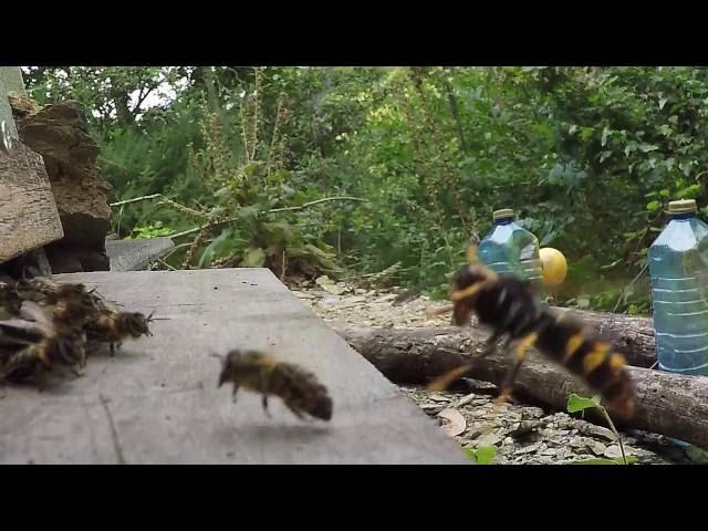 Así se defienden nuestras abejas del ataque de la invasora avispa asiática