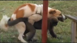 Funny dog mating - Dog mating with cat, pig, duck, monkey, goat | Dog mating with other animals