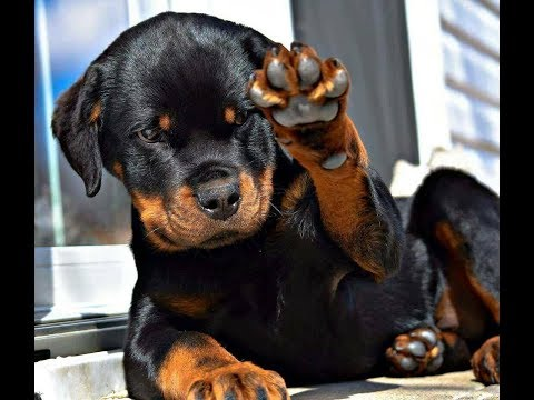El Rottweiler – Todo lo que Debes saber sobre esta raza