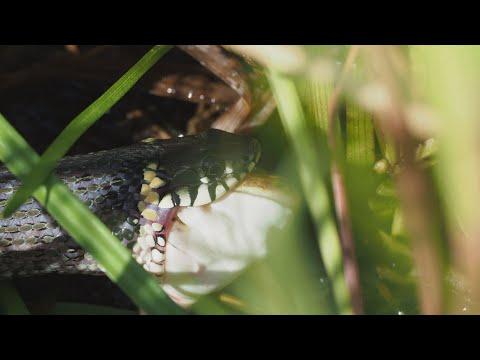 Gyvoji gamta – plėšrūno grobio medžioklė prikausto dėmesį