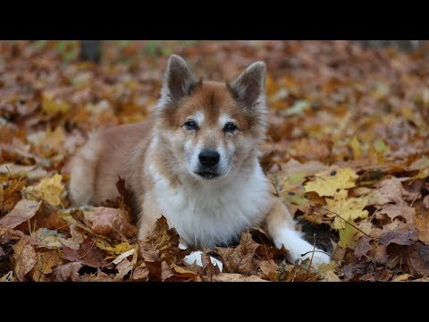Morning Walk | Canon 80D + Zhiyun Crane V2 | Hötti the Icelandic Sheepdog