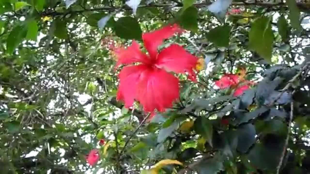 Rvores ornamentais hibiscus ou hibisco youtube for Hibiscus arbol