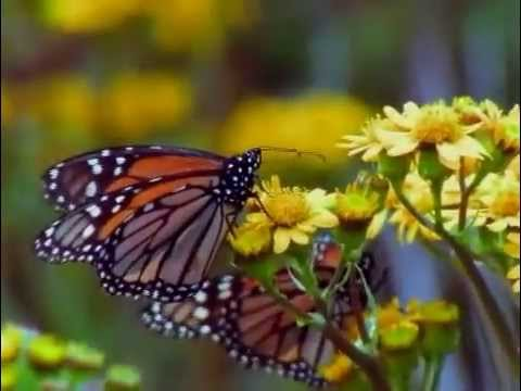 Monarch Butterfly Amazing Migration