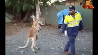 Super Lucu...!!!! Kick Boxing Kanguru Vs Manusia......Jurus Pukul Habis Kangurunya