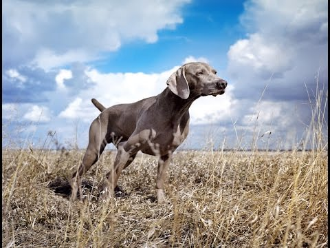 weimaraner-dog-breed-|-pros-&-cons-of-a-weimaraner-|-dog-breeds