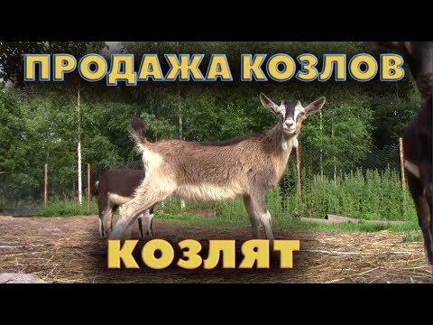 Распродажа козлов и козлят