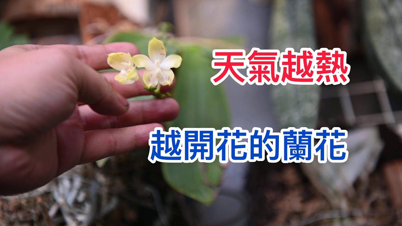 天氣越熱越開花!! 來自印尼的蝴蝶蘭 黃色盾花蝴蝶蘭