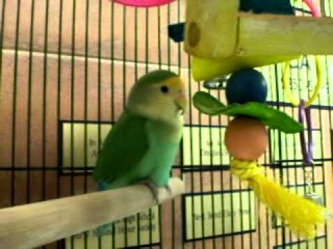 Meet HAYDEN a Love Bird currently available for adoption at Petango.com! 2/15/2011 7:43:28 AM