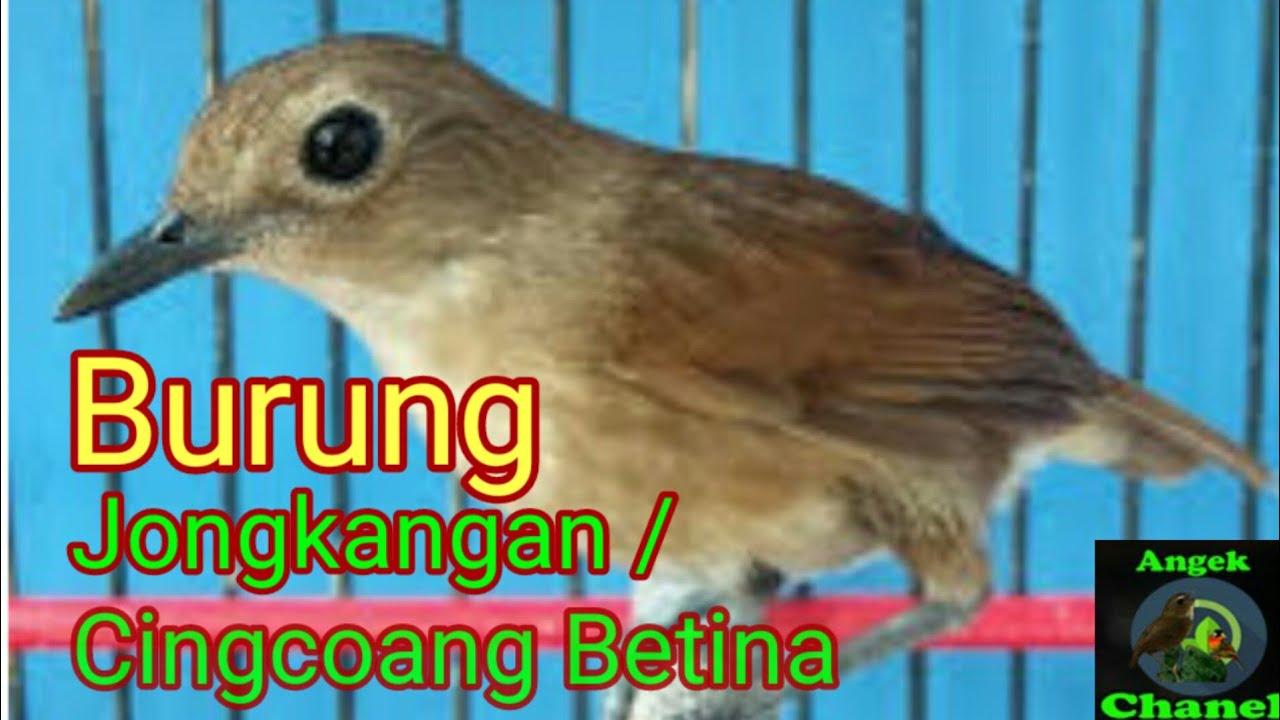 Suara Burung Jongkangan Cingcoang Betina Youtube