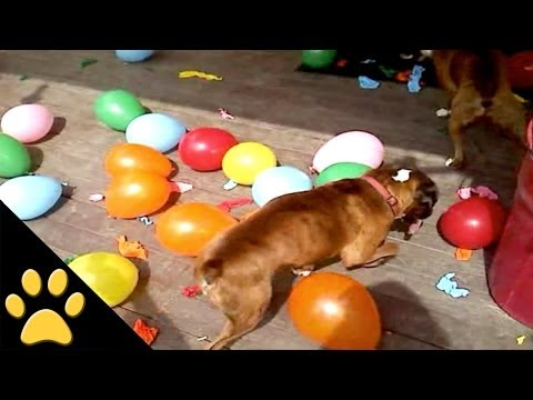 Boxers Biting Balloons