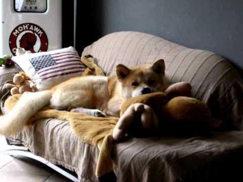 Resultado de imagen para akita inu in bed