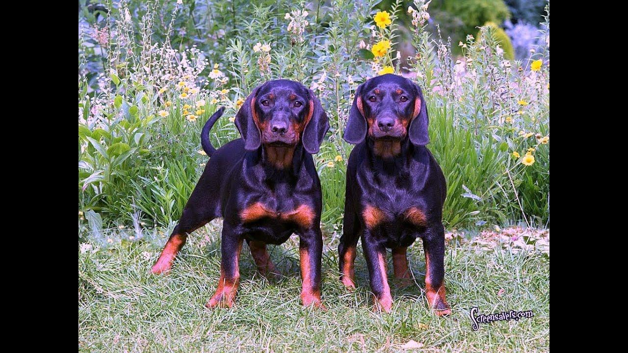 Black Tan Hound Dog Puppies Youtube