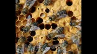 Repeat youtube video Bienen eliminieren Varroa - ResistantBees.com