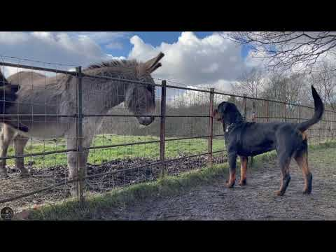 Rottweiler reaction seeing donkeys for the first time