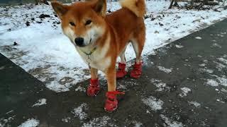 VLOG / ВЛОГ / Дерзко / Модно / Шиба ину в ботинках / Собака в ботинках