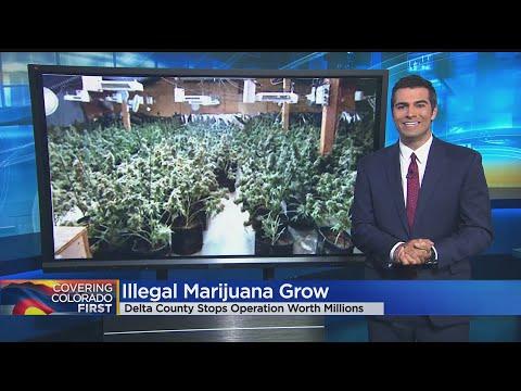 Marijuana Plants Worth Estimated $3 Million Seized In Delta County