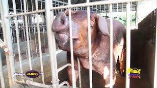 Gambar cover Ang breed na bilis laki at nipis taba! |  Alagang B-MEG TV Ep 10 Part 1