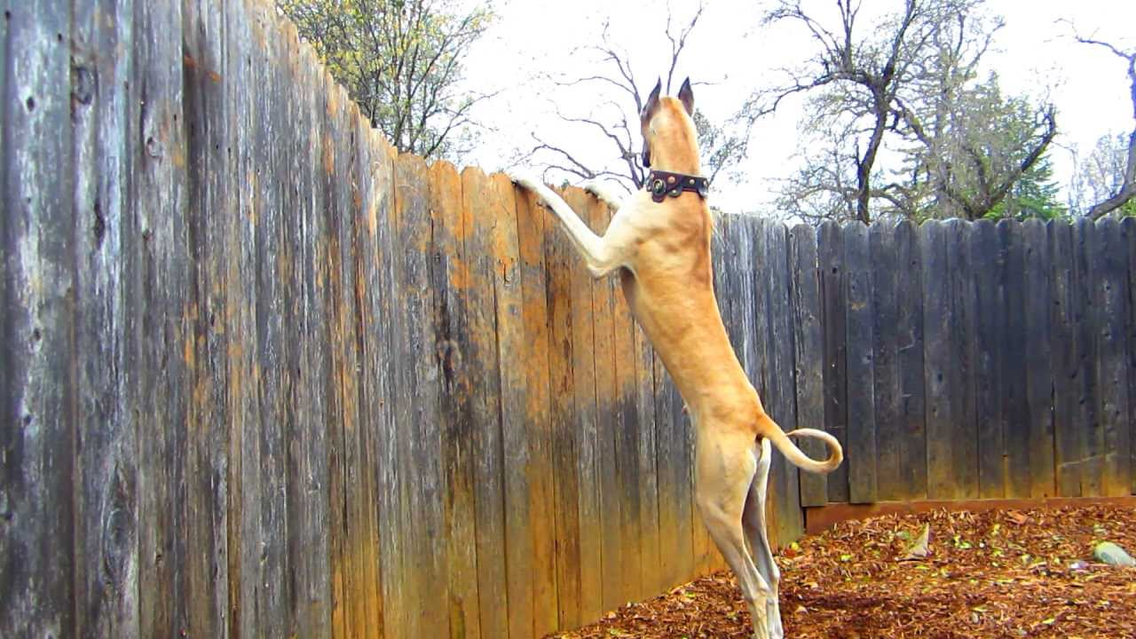 Great Dane Quot Pharaoh Quot Looking Over 6 Fence Hd 1080p
