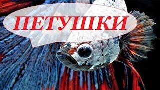 видео Сиамские петушки в аквариуме