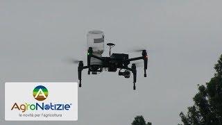 Drone e T. brassicae per il controllo della piralide del mais
