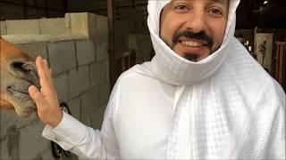 عبيد العوني الخيل العربي الاصيل معلومات مهمة معاناة اهل الخيل Arabian horse