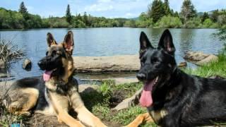 Odefynn - Life Of A German Shepherd Dog - Growing Up Part 1