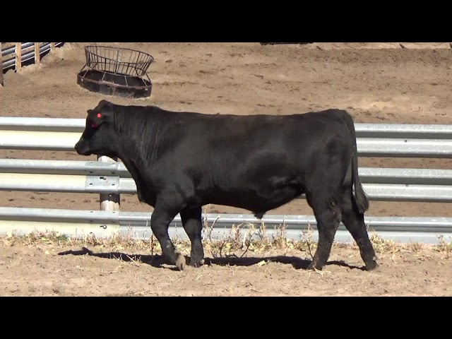 Connealy Angus Lot 54