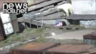 Russia - Polar bear attacks woman