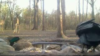 Mallard Duck Visit Deer Trail Pond