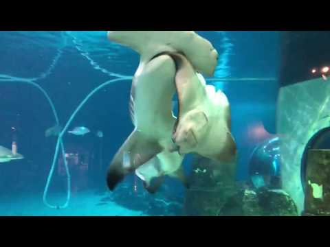 Hammerhead shark attacks sting ray at Adventure aquarium.